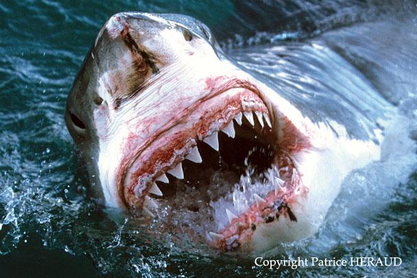 Le grand requin blanc le blog du photographe patrice heraud - Gros vers blancs dans le compost ...