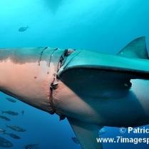 Requin blessé FB11