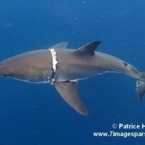 requin blessé FB12